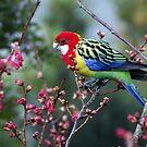 Eastern Rosella.........a seasonal visitor ! by Roy  Massicks