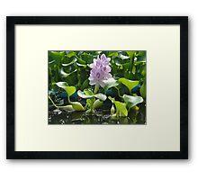 Hyacinth in Bloom Framed Print