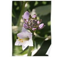 Hosta and Buds Poster