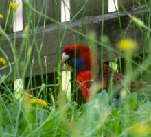 A parrot in my yard. Australian King Parrot.  Sticker