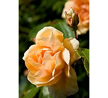Peach Rose and Bud Photographic Print