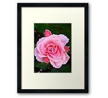 Governor Generals Roses 30 Framed Print