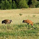 Female Sandhill Crane with her Young by Jan  Tribe