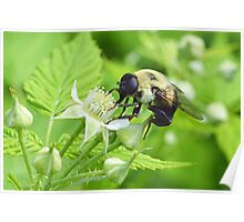 Hover Fly (Bumblebee Mimic) Poster