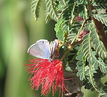 Marine Blue Butterfly by Ingasi
