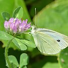 Cabbage White Butterfly by William Brennan