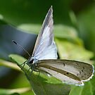 White Butterfly by William Brennan