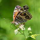Painted Lady by William Brennan