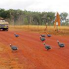 Turkeys at Bramwell Station, Cape York by dozzam