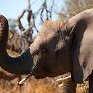 Young Tusker by Clive S