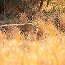 Leopard Hunting by Clive S