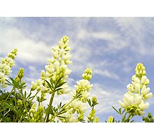 Lupin tree giants Photographic Print