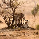 Cheetah Mom & Cubs by Clive S