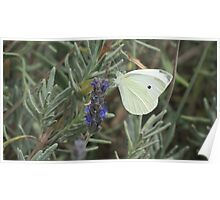 White Butterfly on Lavender Poster