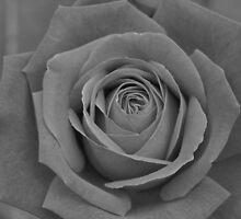 Restful Rose by Sandra Caven