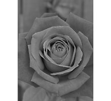 Restful Rose Photographic Print