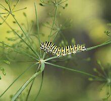 Black Swallowtail Caterpillar by Marija