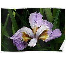 Majestic Iris ! Poster