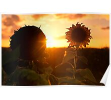 Sunflowers in a field in the afternoon. Poster