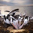 Seafood Feast - Australian Pelicans by Barbara Burkhardt