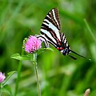 Zebra Stripe swallotail by Brent McMurry