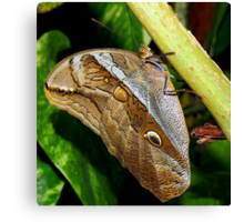 Mournful Brown Owl Butterfly showing his beautiful patterns on its wings Canvas Print