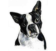Boston Terrier Dog Portrait Photographic Print
