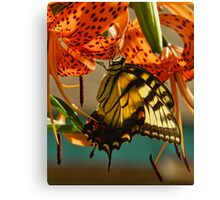 Butterfly on Turks Cap Lily Canvas Print