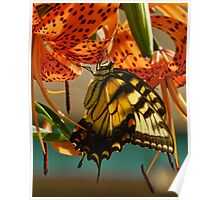 Butterfly on Turks Cap Lily Poster