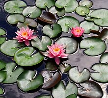 Pink Water Lilly Flower Trio floating on a Garden Pond by Amy McDaniel
