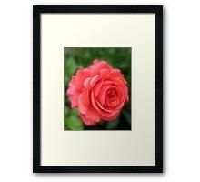 Dreamy Blush Pink Miniature Rose Framed Print