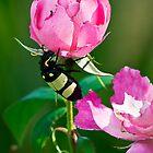 CMR Bean Beetle by RatManDude