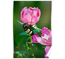 CMR Bean Beetle Poster
