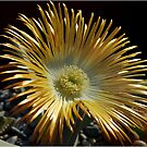 SUCCULENTS OF NAMAKWALAND - WESTERN CAPE SOUTH AFRICA 2 by Magaret Meintjes
