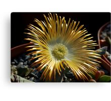 SUCCULENTS OF NAMAKWALAND - WESTERN CAPE SOUTH AFRICA 2 Canvas Print