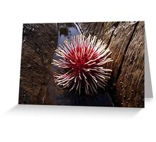 Hakea laurina - Candy Matthews Greeting Card