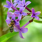 Hoverfly on Spring Lilac by Diana Graves Photography