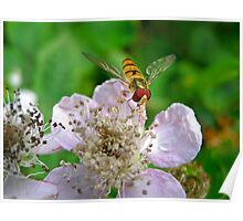 Hoverfly and Bramble Rose Poster