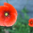 Poppy  by freshairbaloon