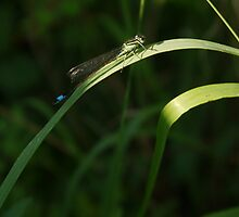 Dragonfly  by Timia Raven