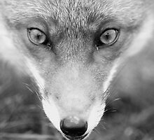 Face Fox by ChrisMillsPhoto