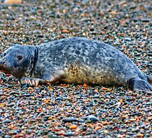 Seal On Shingle by VoluntaryRanger