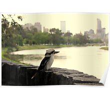 Kookaburra in Melbourne Poster