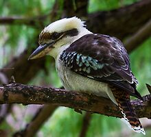Laughing Kookaburra (Dacelo Novaeguineae) by NickVerburgt