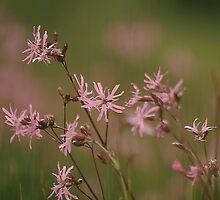A meadow of ragged robin  by miradorpictures