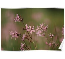 A meadow of ragged robin  Poster