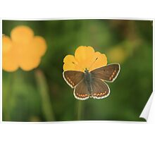 Brown argus butterfly collecting nectar in a wild flower meadow Poster