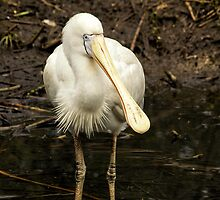 Yellow-billed Spoonbill by SusanAdey