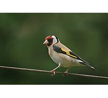 On the rails!! A stunning goldfinch at rest Photographic Print