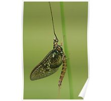 Up close and personal, A mayfly at rest  Poster